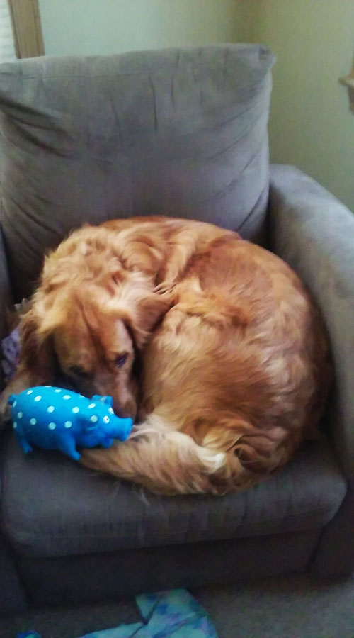 """NAME: Diesel AGE (In human years): Almost 2 yrs. BREED: Golden Retriever FAVORITE MEMORY: """"When my human brings me to the boat launch near the dog park and lets me swim to my heart's content."""""""